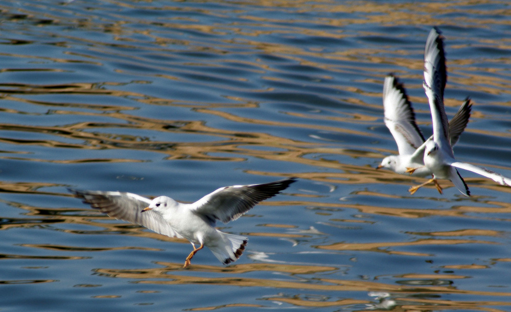 photoblog image Gulls over the Severn