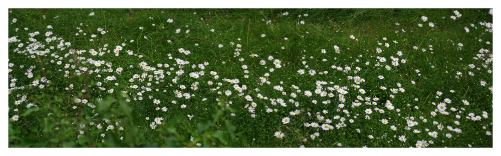 photoblog image lot of daisies