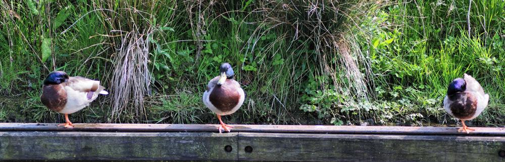 photoblog image Three one legged ducks