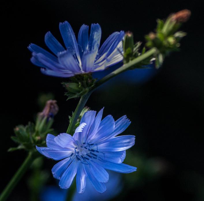 photoblog image Blue Flower