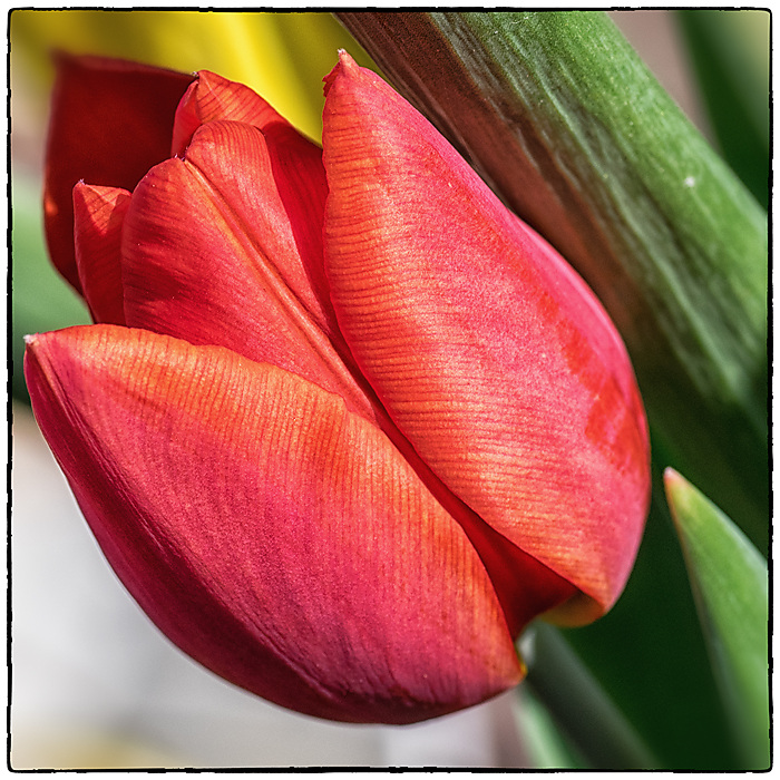 photoblog image Another tulip
