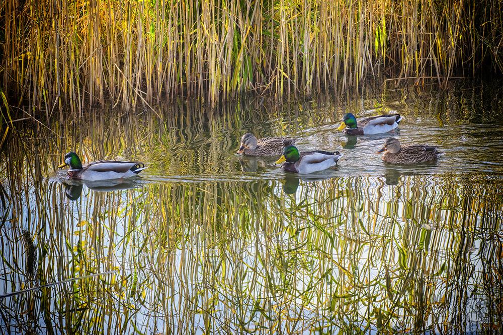 photoblog image Ducks